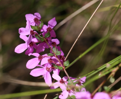 Shows Pink-bells, Tetratheca ciliata, Edward Hunter Heritage Bush Reserve