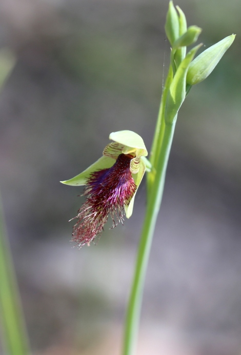 Shows Purple beard-orchid, Calochilus robertsonii, Edward Hunter Heritage Bush Reserve